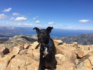 Moose, about a year old, atop Freel Peak (10,886 feet) in September, 2015.